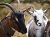 Поголовье овец и коз увеличилось в Нижегородской области более чем на 80% за 4 месяца