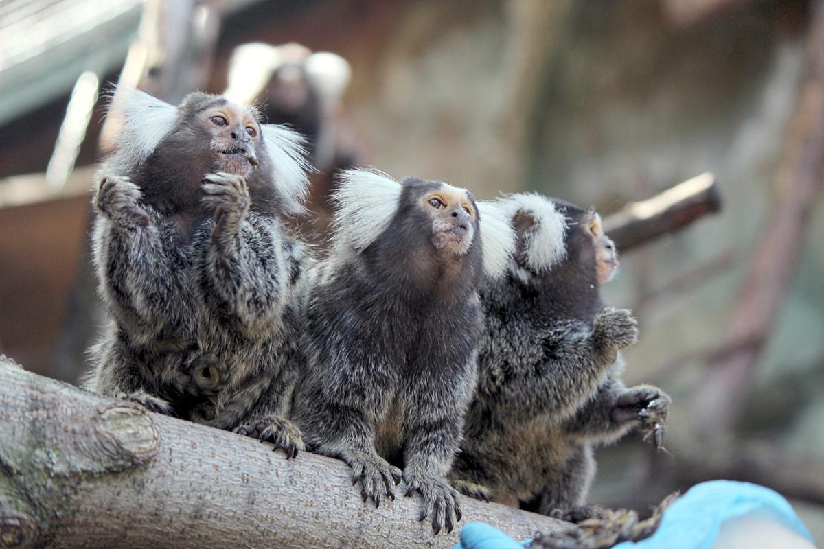 Маленькие игрунки появились на свет в нижегородском зоопарке - фото 1