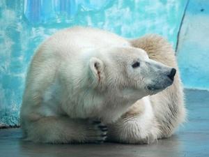 Белая медведица с непростой судьбой поселилась в нижегородском зоопарке