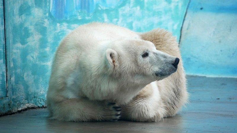 Белая медведица с непростой судьбой поселилась в нижегородском зоопарке - фото 1