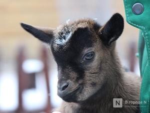 Почти на 70% увеличилось поголовье коз и овец в Нижегородской области