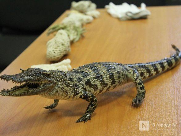 """Крокодил в багаже: нижегородские таможенники показали """"шедевры"""" контрабанды - фото 32"""