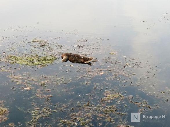Тела мертвых уток обнаружил нижегородец в озере Щелоковского хутора - фото 2