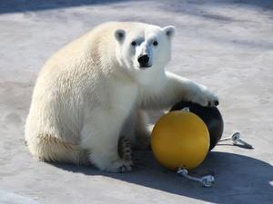 Белой медведице из «Лимпопо» подарили игрушки для спорта